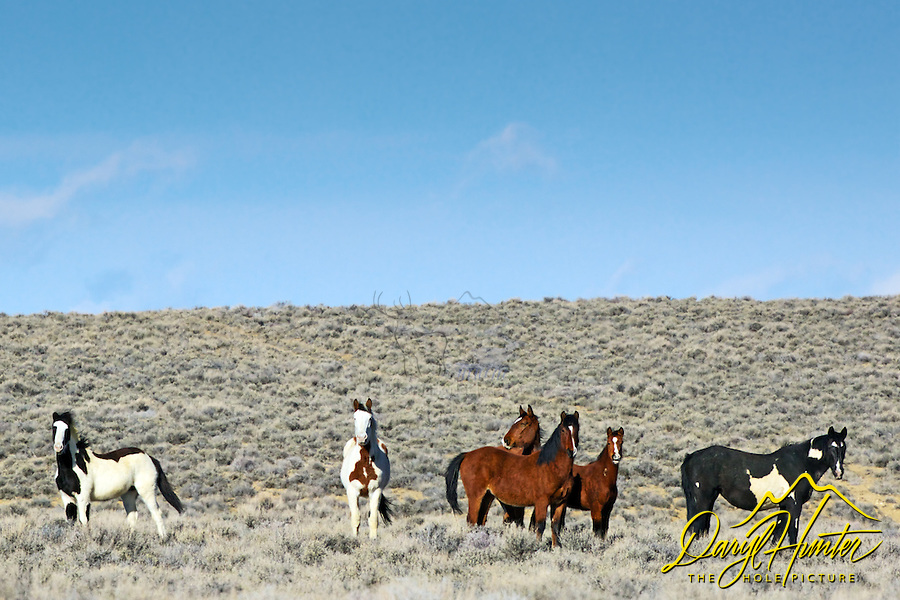 Band of Mustangs, Farson, Wyoming