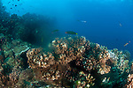 Spawning hardcorals, (Pocillopora sp.), Reef fish eating the eggs and sperm, GBR, Australia