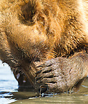 A costal Brown bear is seen here searching for razor clams on the tidal flats along Cook Inlet in Lake Clark National Park, Alaska.  Photo by Gus Curtis.