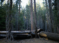 Trees in Yosemite National Park, CA