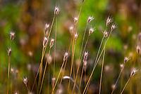 Danthonia intermedia, Timber Oatgrass, California native grass in Sierra meadow