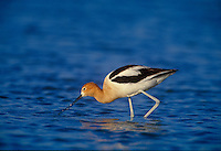 506857045 a wild american avocet recurvirostra americana feeds in a shallow lagoon along the salton sea national wildlife refuge in imperial county california