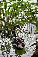 Black swan, Morton Lake, Lakeland, Florida