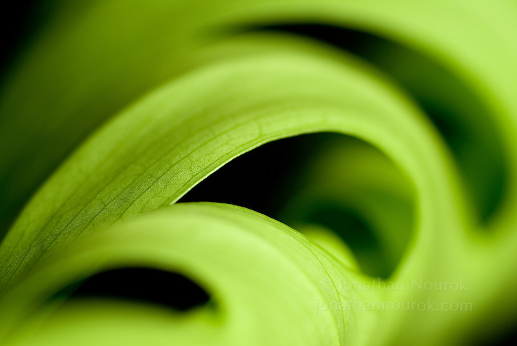 close-up of a Swiss cheese plant leaf