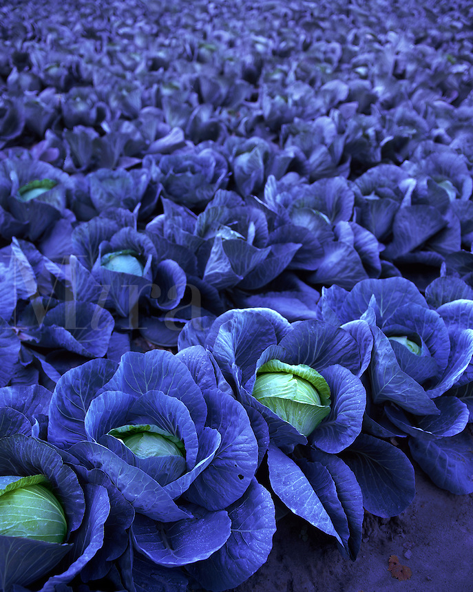 Blue-Moon Cabbage - blue-leaved cabbages in rows in farmer's field - conceptual image re genetic engineering controversy.