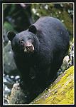 FB 343  Black Bear.  5x7 Postcard