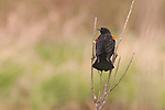 red winged blackbird male