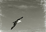 Fulmar in flight