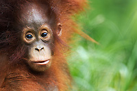 Petra a young female Bornean Orangutan (Pongo pygmaeus wurmbii) aged 12 months, Camp Leakey, Tanjung Puting National Park, Central Kalimantan, Borneo, Indonesia. Rehabilitated and released (or descended from) between 1971 and 1995. Portrait taken July 2010.