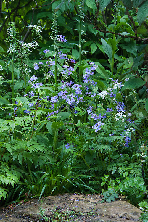 Lunaria annua 'Corfu Blue',  a blue form of Annual Honesty, mid May. The Laurent-Perrier Chatsworth Garden designed by Dan Perarson, RHS Chelsea Flower Show 2015.