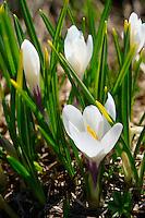 Alpine White Crocus meadow flower - (Crocus Albiflorus) - Grindelwald Switzerland