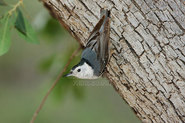 White-breasted Nuthatch, Sitta carolinensis, adult, Madera Canyon, Arizona, USA, May 2005