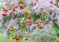 Red Photinia berries in San Francisco Botanical Garden