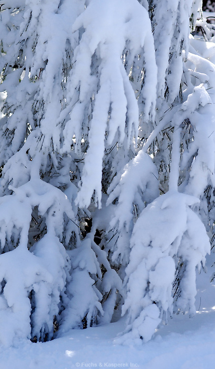 A heavy snow weighs down the limbs of a tree.
