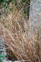 Carex comans 'Frosted Curls' ornamental grass sedge
