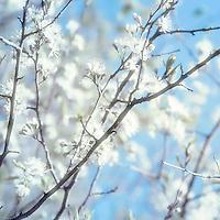 Wild honeysuckle blossoms