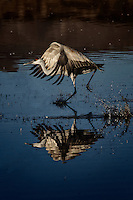 A Sandhill Crane running to gather speed for take-off at the North Chupadera Pond in Bosque del Apache National Wildlife Refuge.