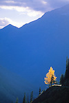 A yellow leaved tree along the Going To The Sun Highway through Glacier National Park in Montana