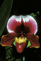 Orchid complex paphiopedilum Frasier's Fire bulldog type in red, brown, white, green flower