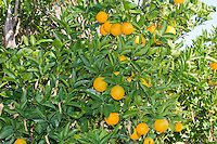 Bidwell Mother Orange Tree, showing oranges.