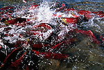 Sockeye go about their business of churning up the stream bed so the females can lay their eggs in a clean gravel bowl devoid of silt and sediment that would otherwise suffocate their eggs in Funnel Creek on the Alaska Peninsula.