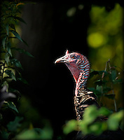 Wild Turkey in weeds