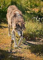 Gray Wolf with head down walking toward camera in afternoon sun