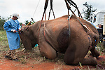 Elephant Population Management Program surgeon Dr  Dean Hendrickson, director of Colorado State University Veterinary Teaching Hospital notches ear of vasectomised wild elephant bull, Loxodonta africana.  Private game reserve in Limpopo, South Africa. Dr Hendriskson, a pioneer in minimally invasive surgery using laparoscopy, developed surgical technique for wild elephant vasectomies.