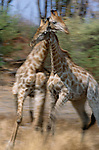 Reticulated giraffes kick up dust as they spar, Okavango Delta, Ngamiland, Botswana