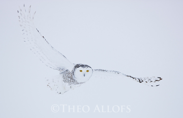 Snowy owl flying in white-out conditions in winter, Canada