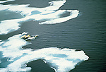 Two second year cubs jump from the sea ice into the ocean after their mother, Somerset Island, Nunavut, Canada