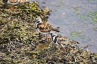 Turnstone birds feeding on seaweed in the Wick River, Scotland, United Kingdom