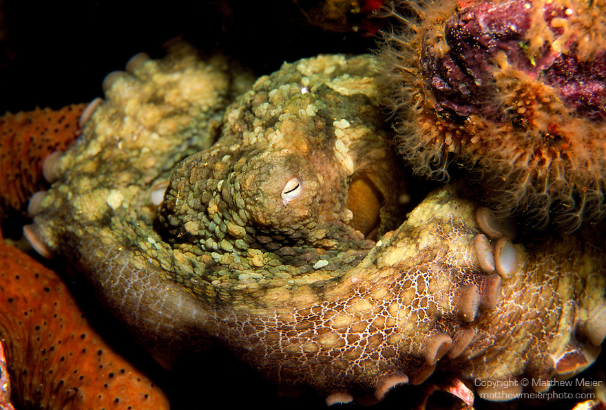 Santa Cruz Island, Channel Islands National Park and National Marine Sanctuary, California; a Two-spotted Octopus (Octopus bimaculatus) tucked into a crevice of the rocky reef , Copyright © Matthew Meier, matthewmeierphoto.com All Rights Reserved
