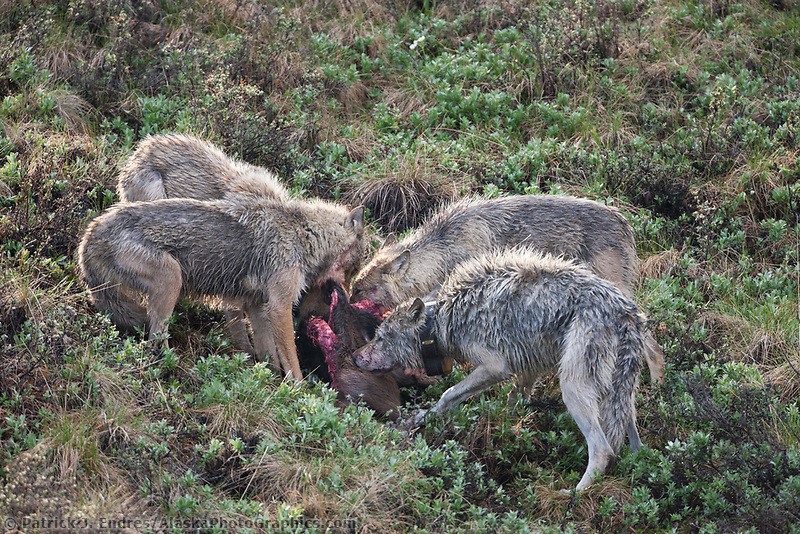 Grant Creek wolf pack feeds on a recently killed moose calf, Denali National Park, interior, Alaska.