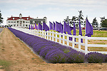 Scenes from the Lavender Festival in Sequim, WA. Thousands of people descend on the Olympic Peninsula in July for the annual Lavender Festival, held at many farms in the area. Here: The George Washington Inn, a bed and breakfast and lavender producer.