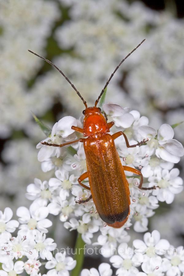 Rotgelber Weichkäfer, Brauner Weichkäfer, Schwarzzipfeliger Weichkäfer, Blütenbesuch, Rhagonycha fulva, black-tipped soldier beetle, Cantharidae, soldier beetles