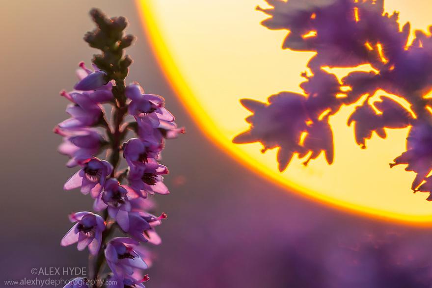 Ling Heather {Calluna vulgaris} close up in front of setting sun. Peak District National Park, Derbyshire, UK. August.