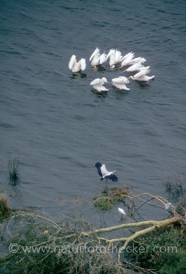 Rosapelikan, Rosa-Pelikan, Pelikan, bilden bei der Jagd nach Fischen einen Kreis, Pelecanus onocrotalus, White Pelican, Pélican blanc