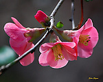 Wild Flowering Quince blossoms.