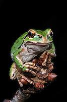 Pacific Northwest Tree Frog (Hyla regilla)