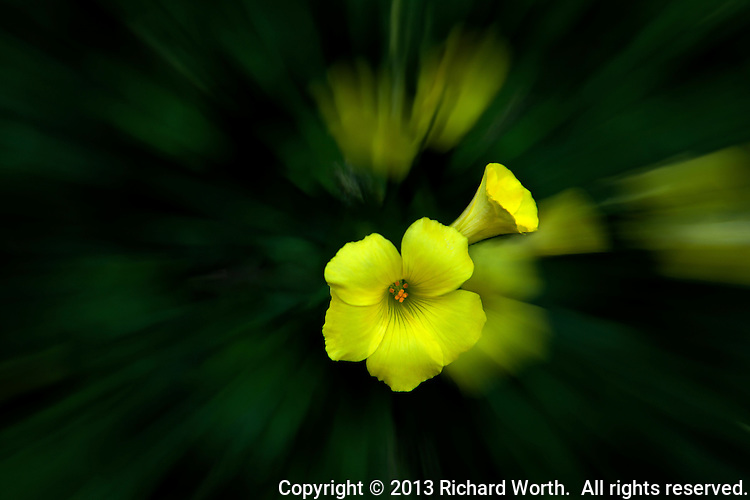Two bright yellow oxalis flowers in sharp focus float over a background of their motion-blurred selves.