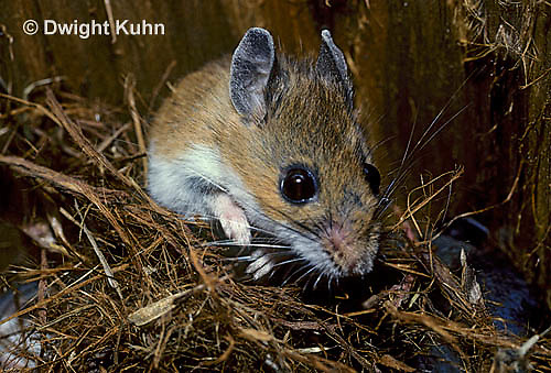 MU01-011z   White-Footed Mouse - pulling nest together - Peromyscus leucopus
