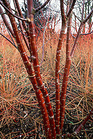Winter interest bark of Prunus maackii against Cornus sanguinea 'Winter Beauty'