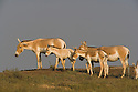 Small herd of Indian wild asses (Equus hemionus khur), dry season<br /> The Indian wild ass's range once extended from western India, through Sind and Baluchistan, Afghanistan, and south-eastern Iran. Today, its last refuge lies in the little Rann of Kutch and its surrounding areas of the Greater Rann of Kutch in the Gujarat province.
