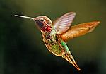 Birds - Hummingbird in the Backyard, Newport Beach, California. Photo by Alan Mahood.