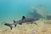 White-tip reef shark, Bartolome Island, Galapagos Islands, Ecuador