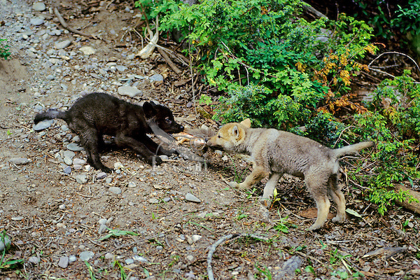 Wolf Pups Playing wolf : gray wolf pups (canis lupus) tom & pat leeson