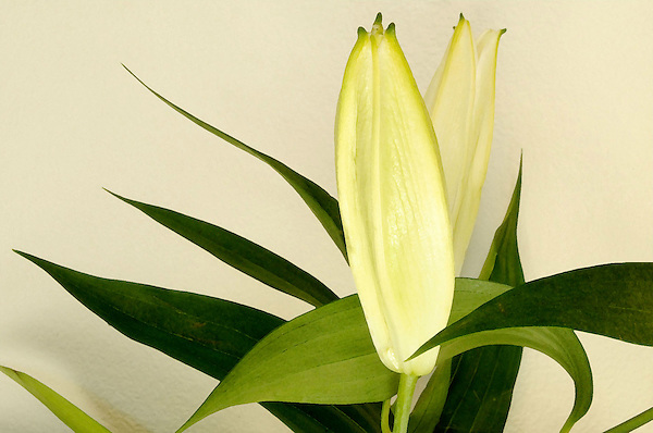 Grace, Lilly Bud waiting to unfold