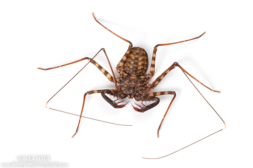 Tanzanian Giant Tailless Whipscorpion .{Damon variegatus} photographed on a white background. The highly flexible pair of whip-like legs are used to feel for prey and to detect the whipscorpion's surroundings . Captive, originating from Kenya and Tanzania.