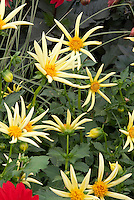 Dahlia Honka spidery yellow flowers